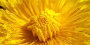 flor dente-de-leão