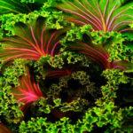 planta kale propriedades