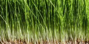 benefícios erva-trigo