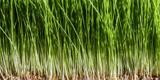 Erva-de-Trigo – Conhece os seus Benefícios e Propriedades