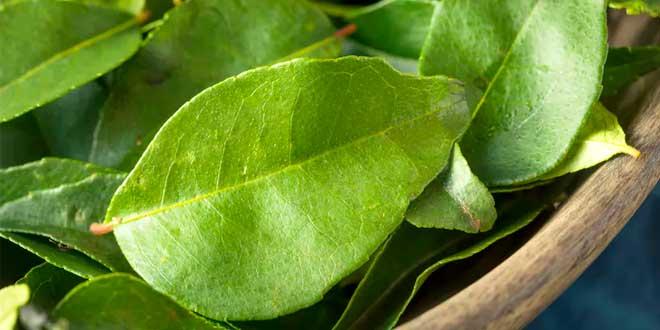folha planta salacia