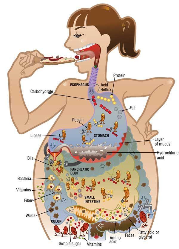 absorção alimentos