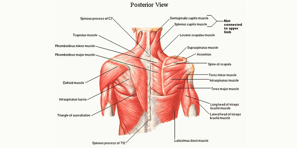 músculos costas