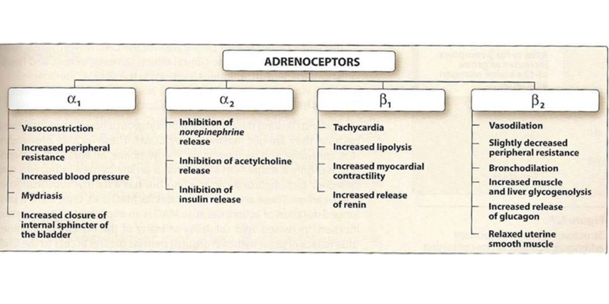 adrenoreceptois