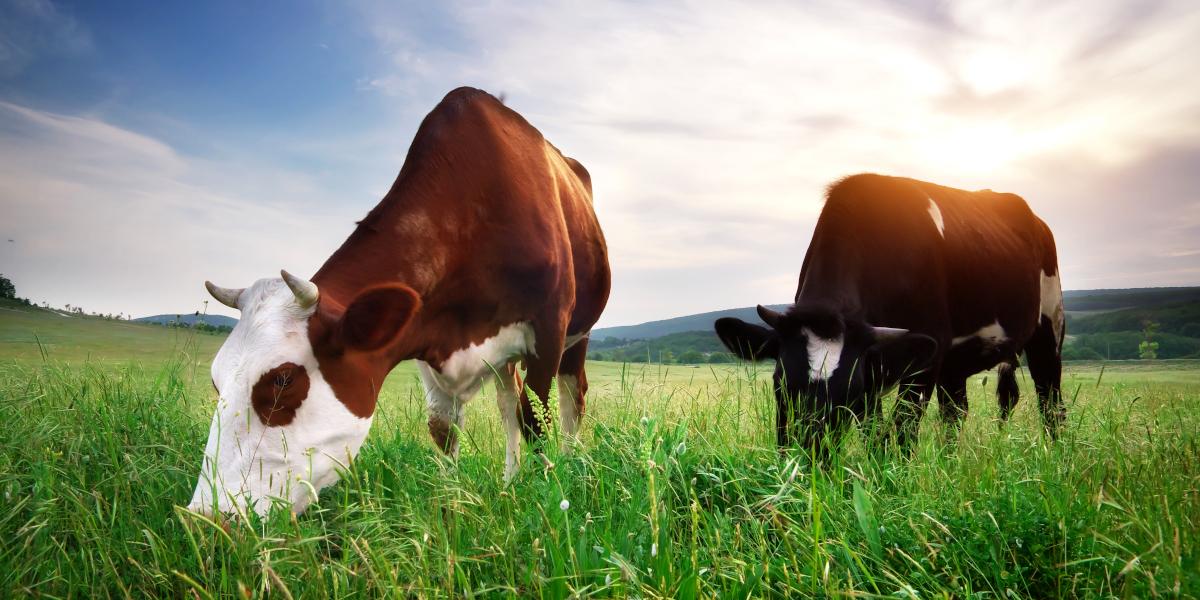 Vacas de pasto