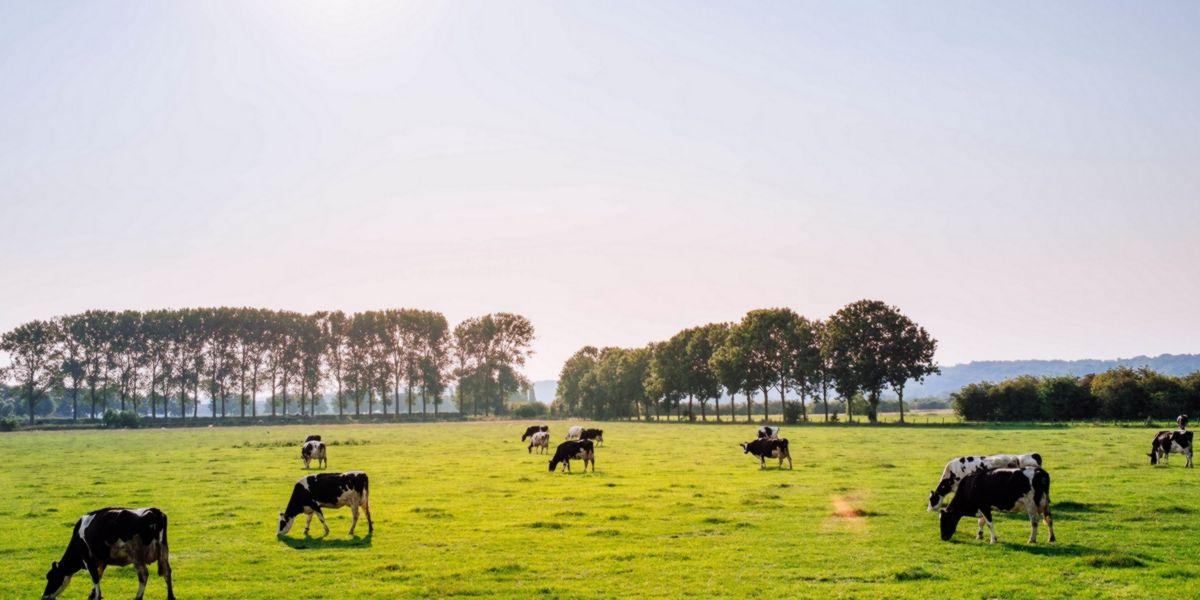 Vacas alimentadas livremente