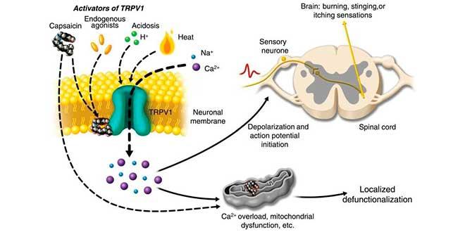 Come agisce la capsaicina