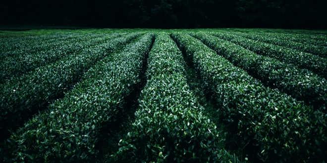 Coltivazione di tè verde