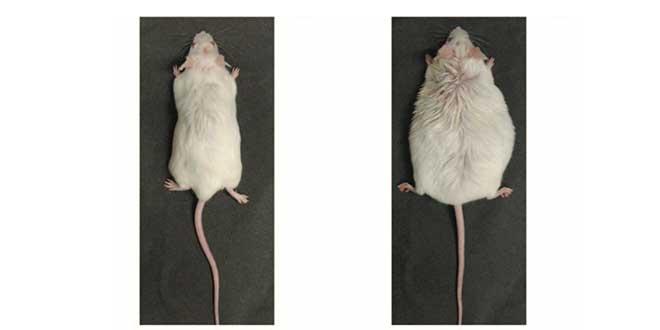 Effetti degli estrogeni sui topi