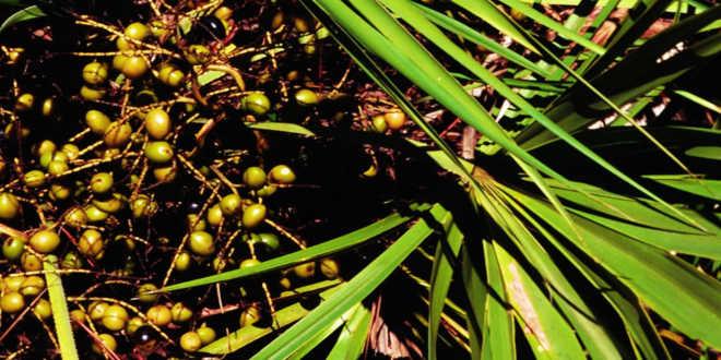 Bacche della pianta di saw palmetto