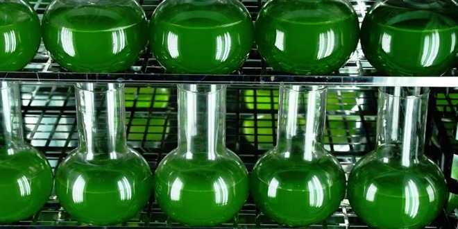 Come assumere l'alga chlorella