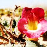 Pianta medicinale arpagofito