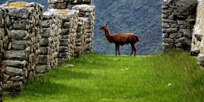 Gli Inca e la coltivazione della maca