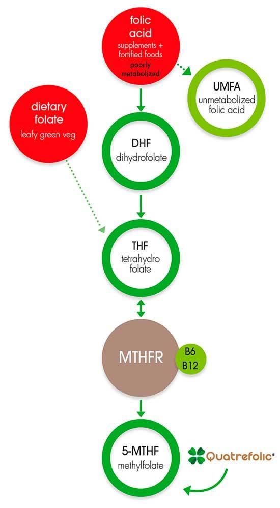 5-MTHFR e Acido Folico