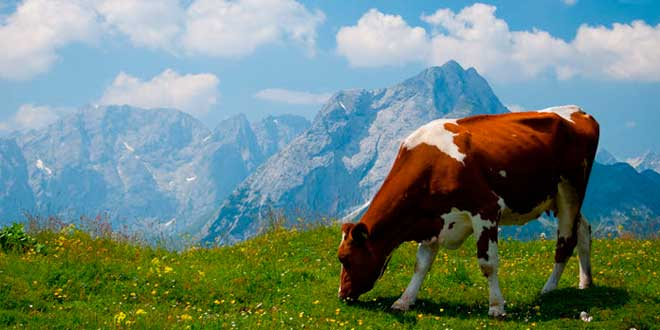 Colostro proveniente da vacche alimentate con erba