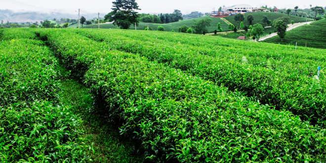 Coltivazione del tè matcha