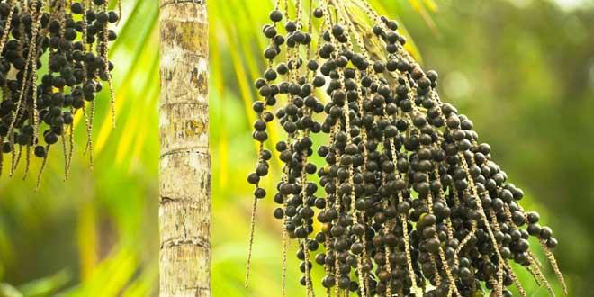 palma euterpe oleracea