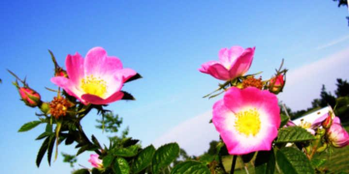 rosa mosqueta olio essenziale
