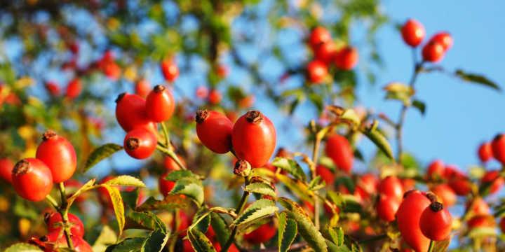 rosa mosqueta pianta