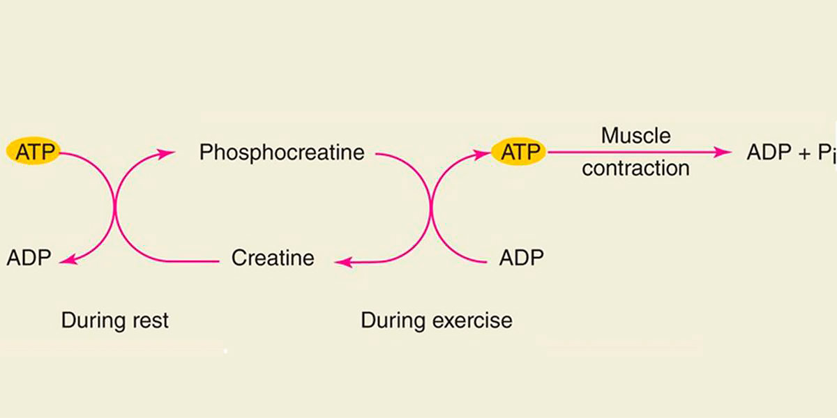metabolismo atp