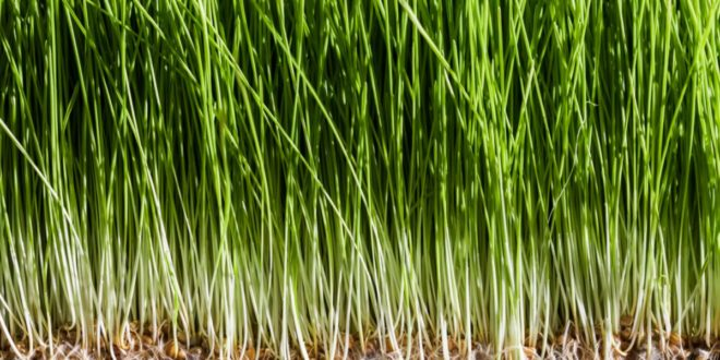Erba di Grano – Scopri i suoi Benefici e Proprietà