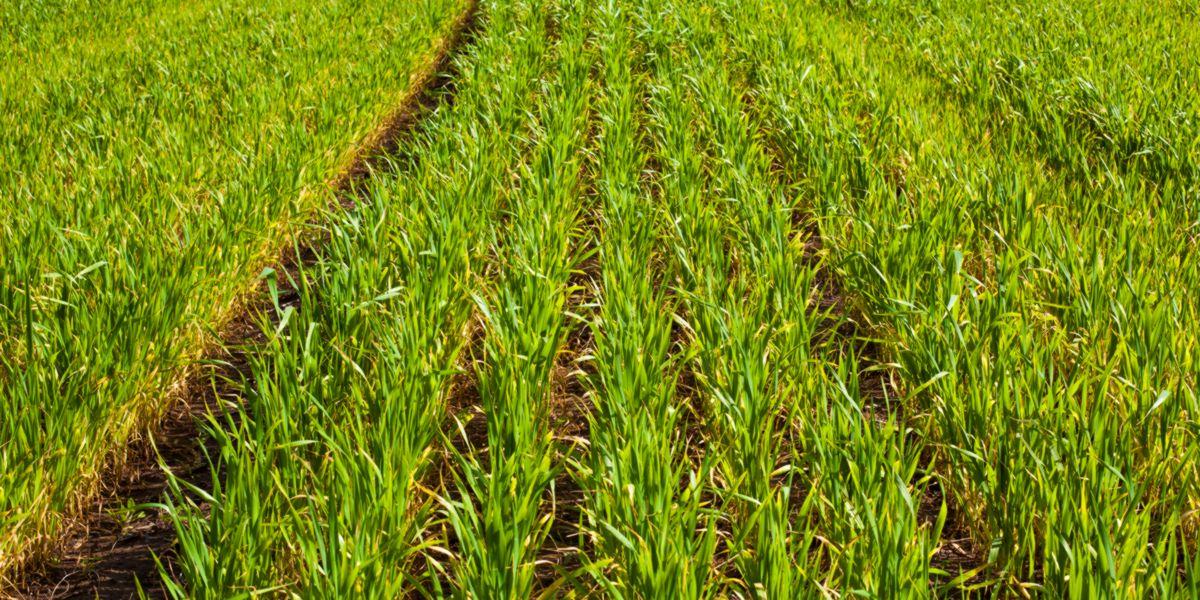 piantagione erba di grano