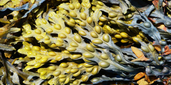 Fucus – Une algue aux propriétés exceptionnelles, de la peau aux articulations.