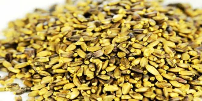Graines de Chardon Marie