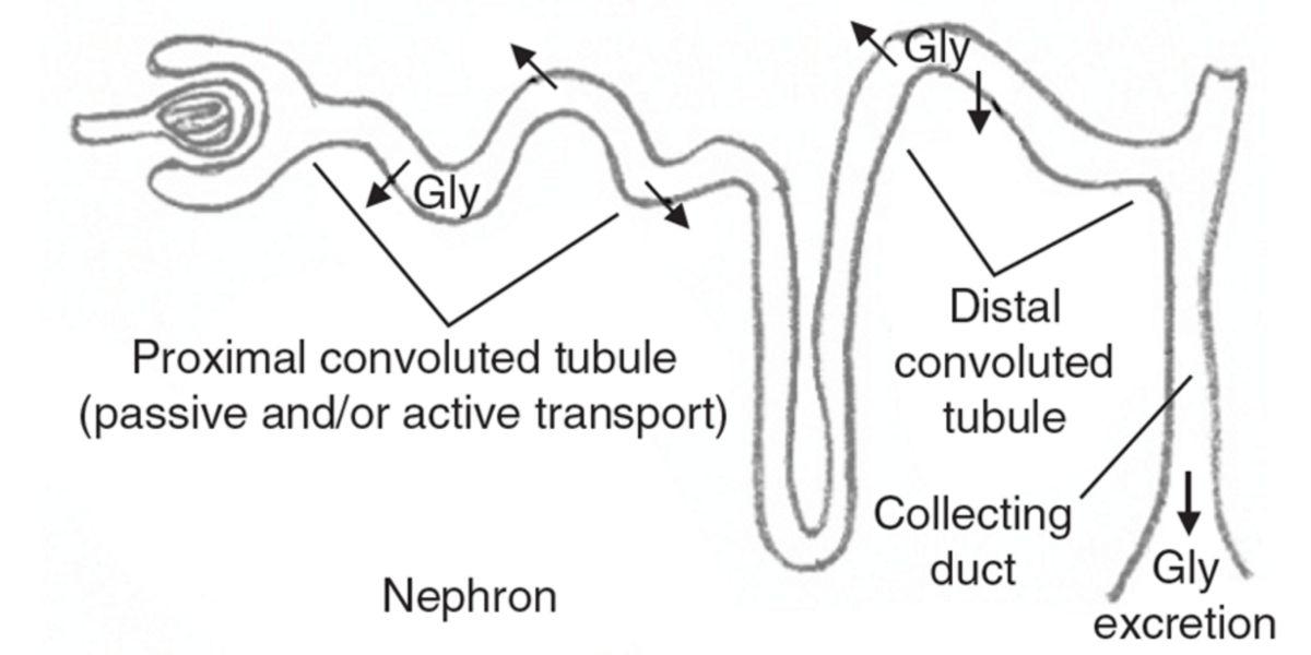 Métabolisme des reins