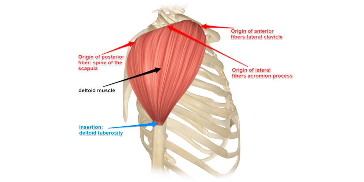 Muscle Deltoïde HSN