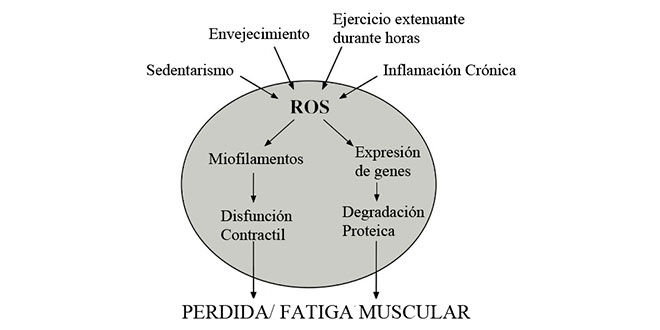 Perte et fatigue musculaire