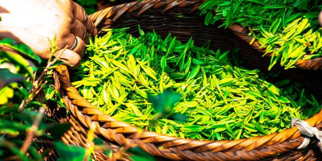 Avantages du thé vert pour la santé