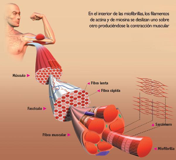 Les fibres musculaires lentes et rapides