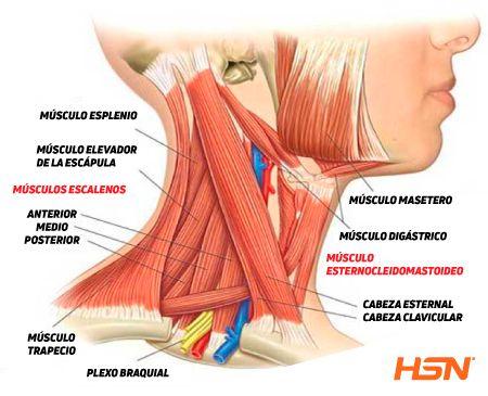Musculature du cou