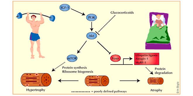 Hormones et HMB