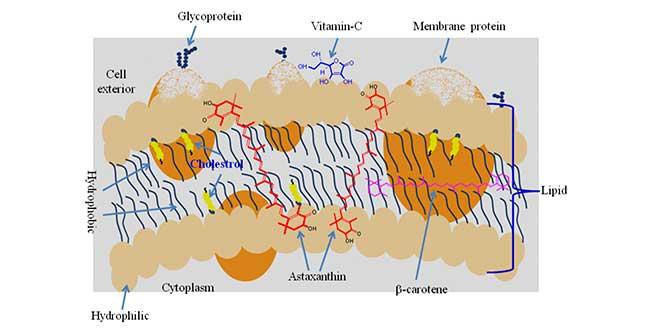 La membrane plasmatique