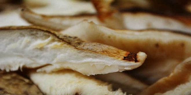 Champignon Shiitake – Renforce le Système Immunologique de Votre Organisme