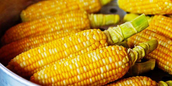 Maïs, source de lutéine