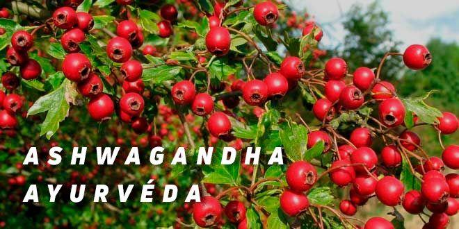 Propriétés de l'ashwagandha et sa relation avec la testostérone