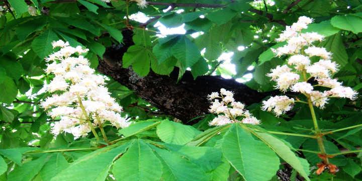 Fleurs du marronier d'Inde