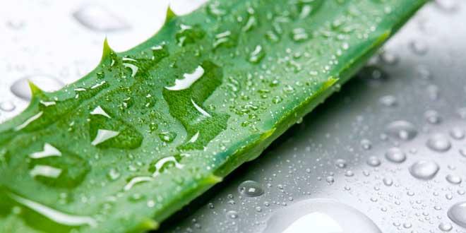 Aloe vera, la plante de la santé et la beauté