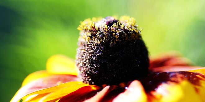Fleur échinacée