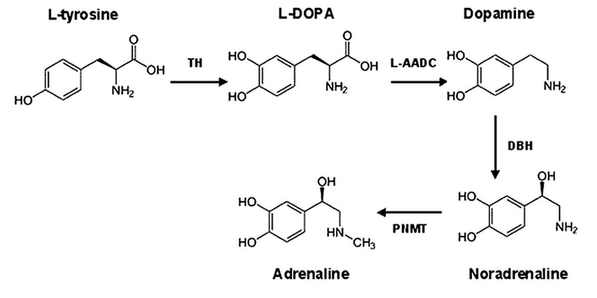 Catécholamines