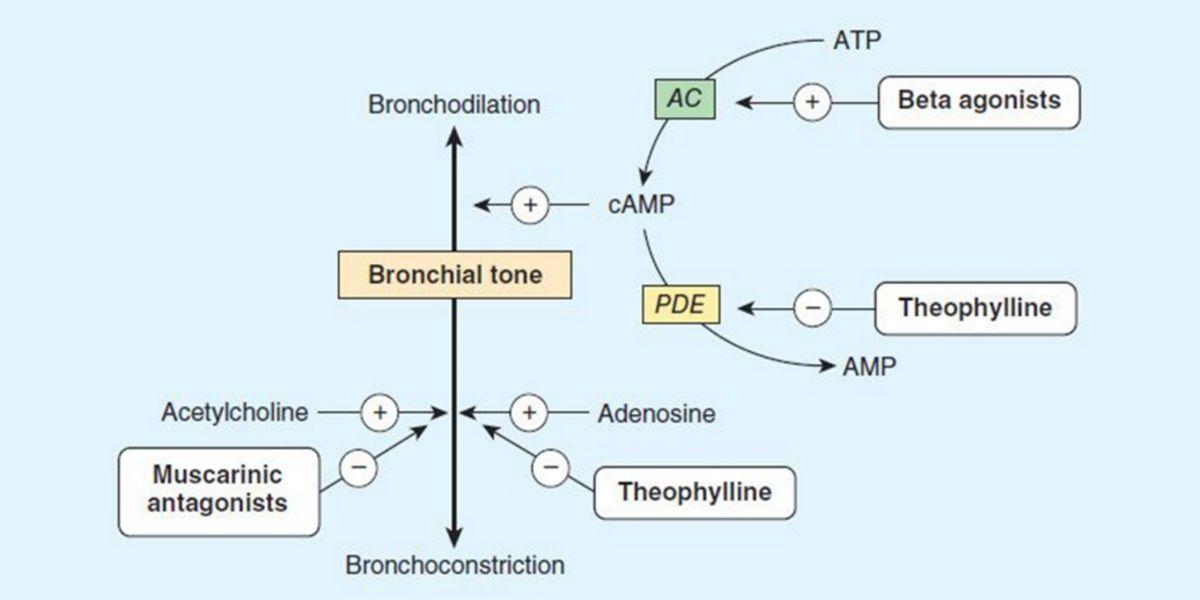 Théophylline