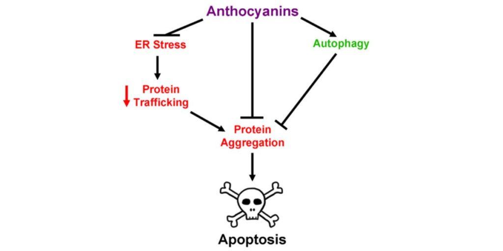 Anthocyanines
