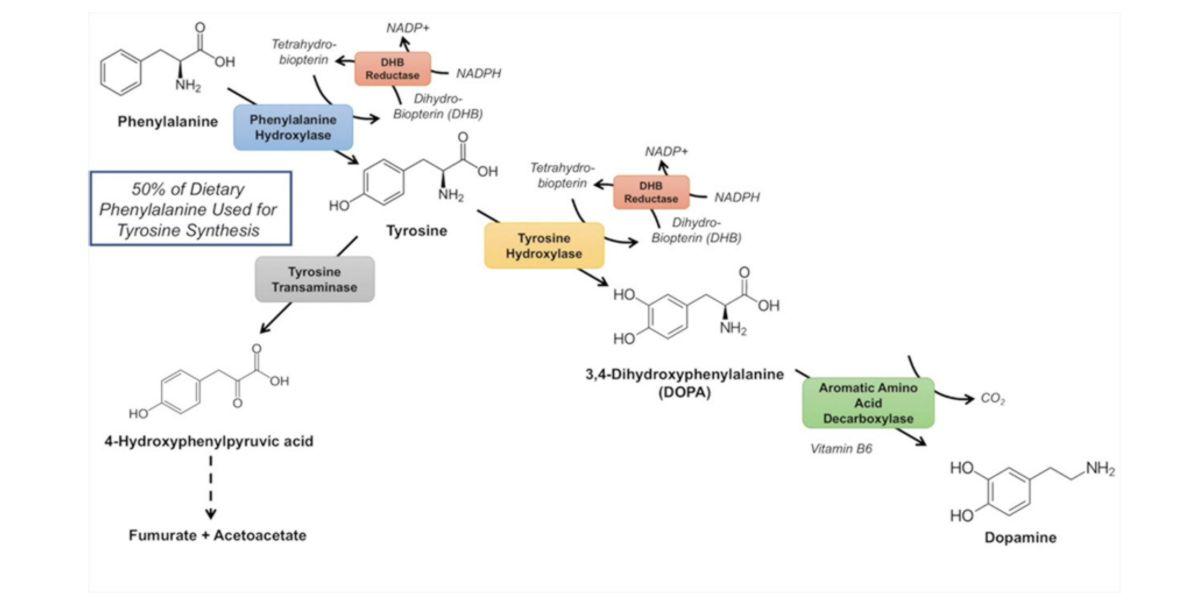 synthèse des catécholamines