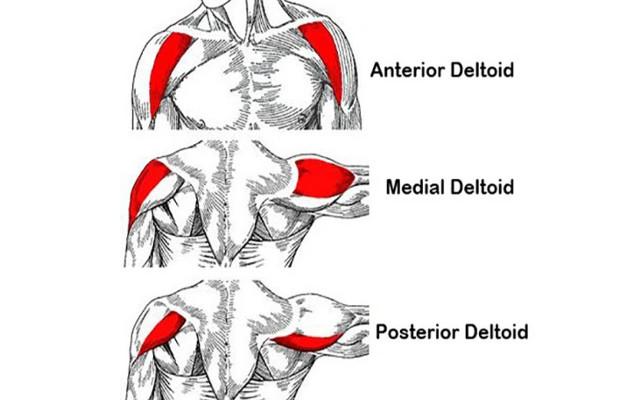 Les muscles des épaules
