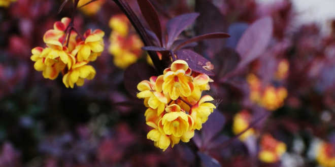 Plante berberis