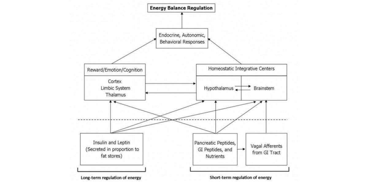 Mécanismes de régulation de l'énergie