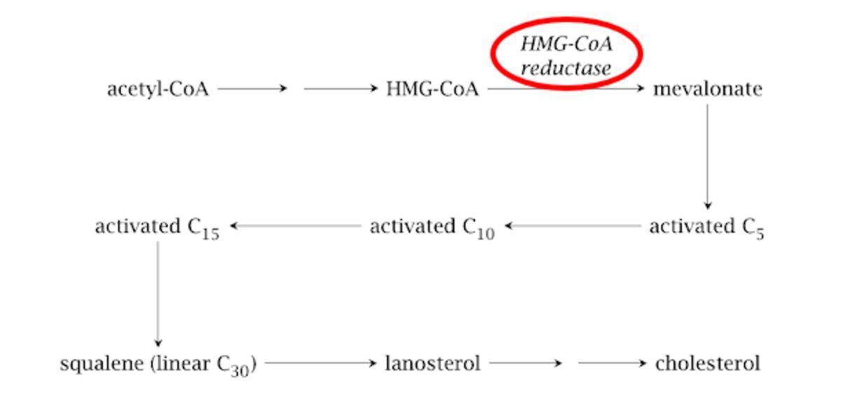 Synthèse du cholestérol
